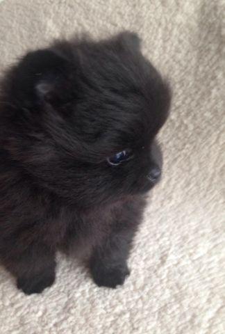 black teddy bear pomeranian - photo #47