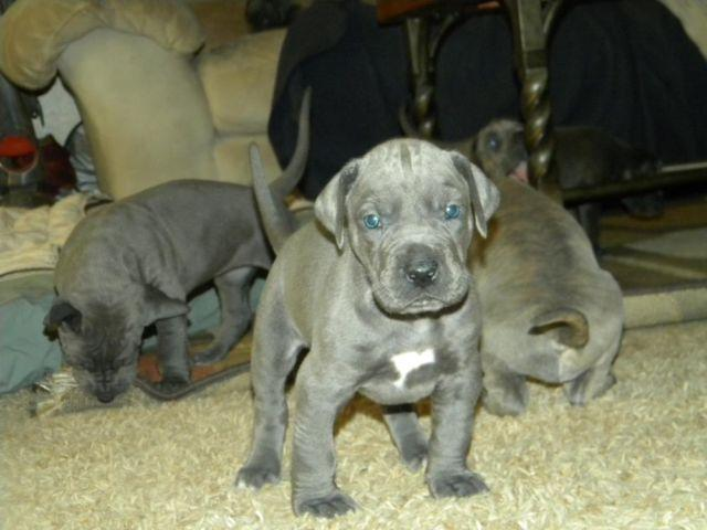 Adorable Akc Blue And Brindle Great Dane Puppies 5 Weeks