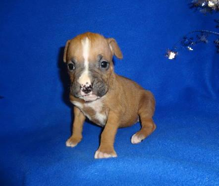 Adorable akc boxer puppy for sale female 31813289 jpg