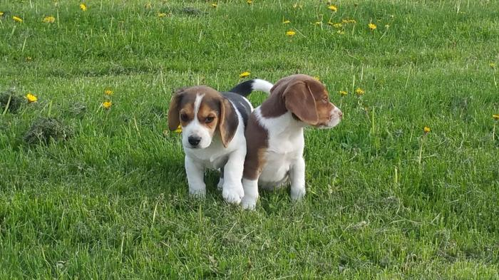 Adorable Akc Champion Beagle Puppies For Sale In Clare Michigan
