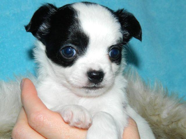 chihuahua for sale in florida adorable akc chihuahua puppy for sale in belleview florida 1387