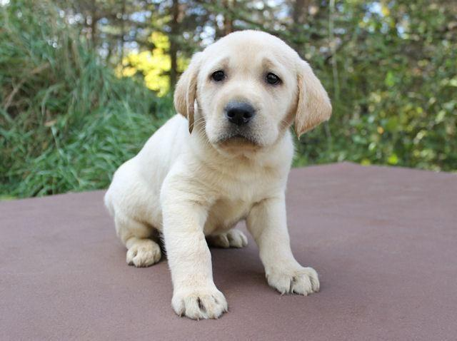 Adorable AKC chocolate, black and yellow lab puppies! MALE AND FEMALE