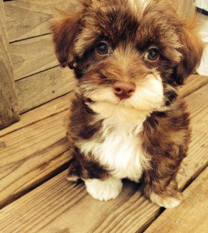 Adorable Akc Chocolate Havanese Puppy For Sale In Huffman Texas