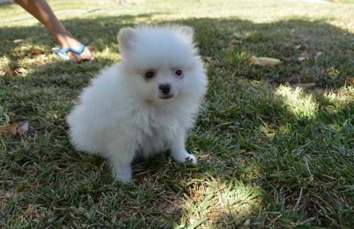 adorable AKC/CKC registered Pomeranian puppies available for