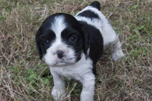 Cocker Spaniel For Sale In Goldsboro North Carolina Classifieds
