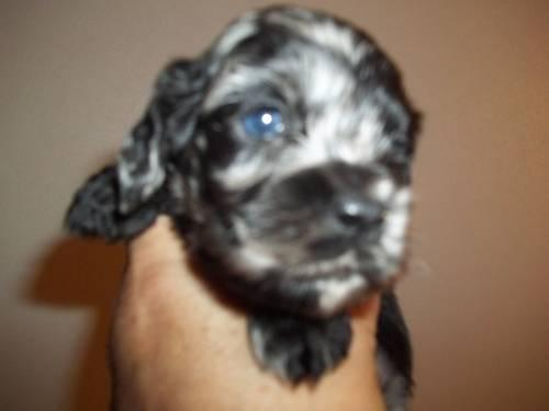 Adorable AKC Cocker Spaniel Puppies some with Blue Eyes