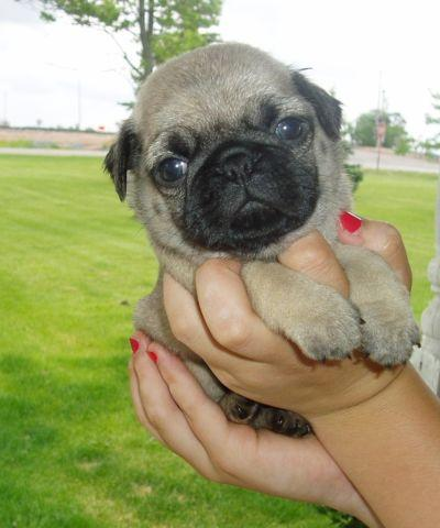 Adorable Akc Fawn Pug Puppies