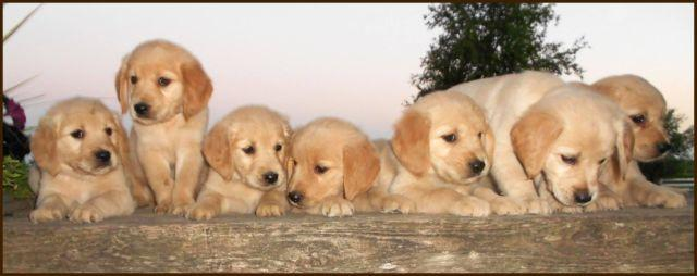Adorable Akc Golden Retriever Puppies 8 Weeks Old For Sale In