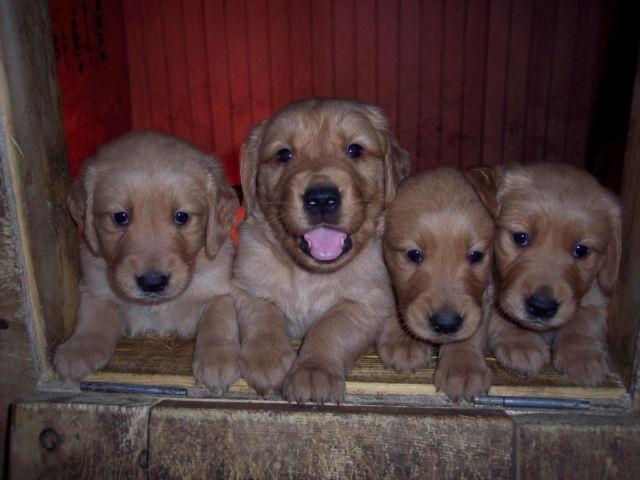 Adorable AKC Golden Retriever puppies, Vet checked Ready 8-30 for sale