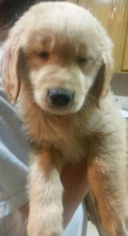 Adorable Akc Golden Retriever Puppy For Sale For Sale In Houston