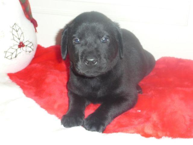 Adorable Akc Lab Puppies For Adoption For Sale In East Maine New