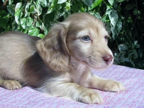 Long Haired Dapple Dachshund Pets And Animals For Sale In The Usa