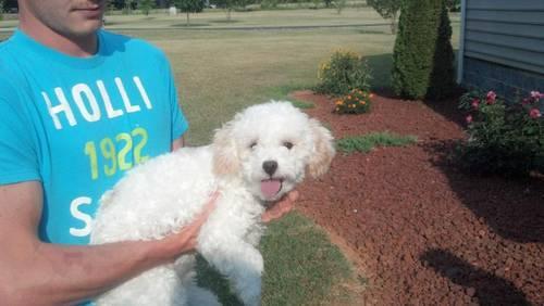 ADORABLE***AKC male white/apricot toy poodle(RARE)
