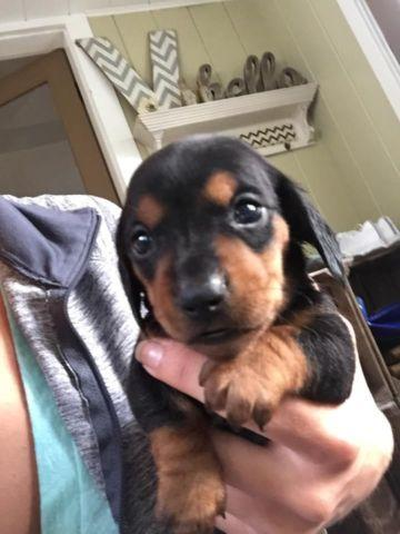 Adorable AKC Miniature Dachshund Black and Tan