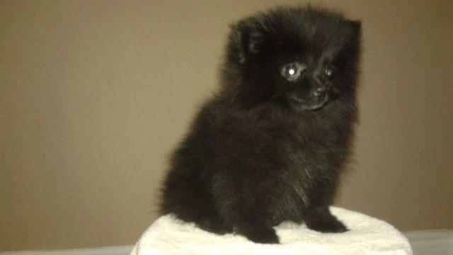 Adorable AKC Pomeranian Puppy for Sale - 11 Weeks Old