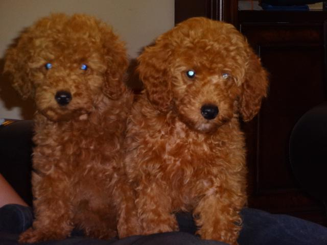 Adorable AKC red miniature poodle puppy litter- only two left!