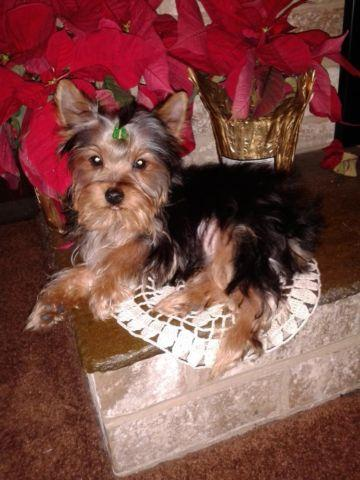 purebreed yorkie adorable akc registerable purebred yorkie for sale in york 8353