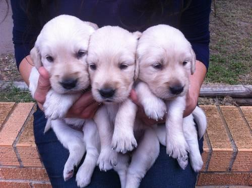 Adorable Akc Registered English Cream Golden Retriever Puppies For