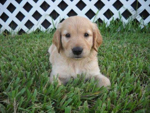 Adorable AKC Registered Golden Retriever Puppies