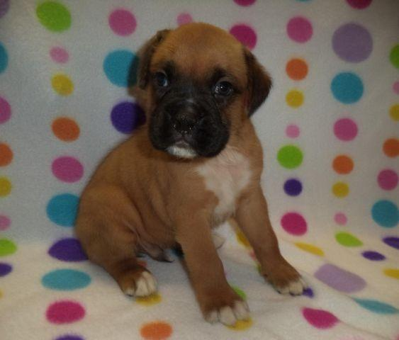 Adorable AKC registered male Boxer puppy nicknamed