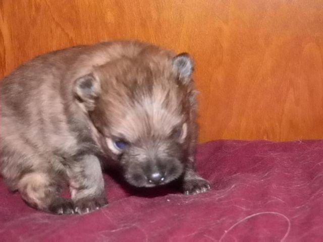 Adorable AKC registered Pomeranian