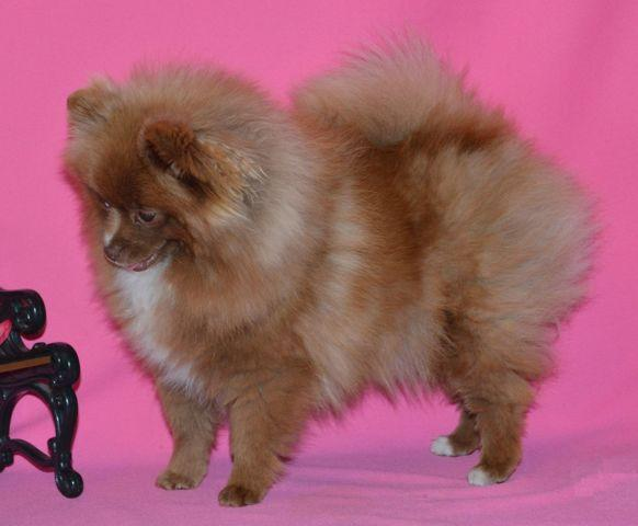 Adorable AKC Registered Pomeranian