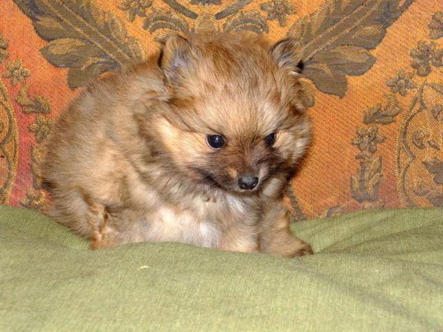 Adorable AKC registered pomeranian puppy
