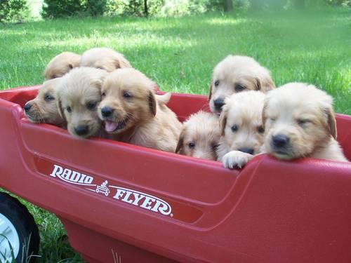 adorable akc registered vet checked golden retriever puppies for