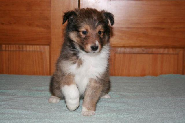 Sheltie Puppies For Sale In Virginia | Dog Breeds Picture