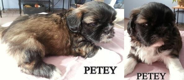 Adorable Akc Shih Tzu Puppies For Sale In Garden City Kansas