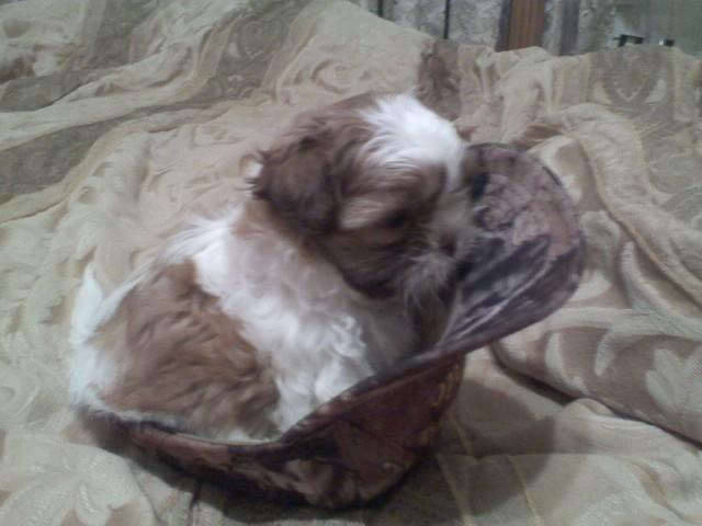 shih tzu puppies for sale in sacramento adorable akc shih tzu puppies for sale in sacramento 9291