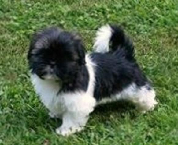 ADORABLE AKC SHIH TZU PUPPIES