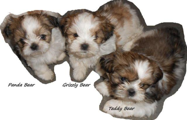 Adorable Akc Shih Tzu Pups 7 Weeks For Sale In San Diego
