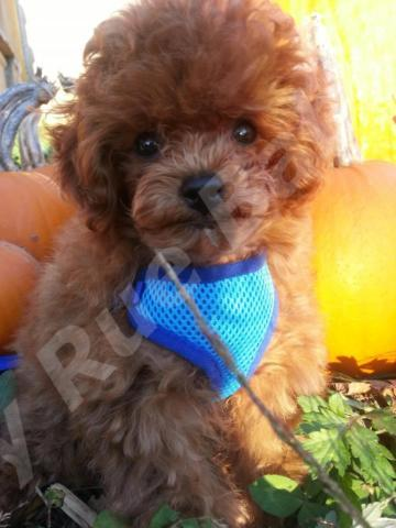 Adorable AKC Small Red Toy Poodle Puppy