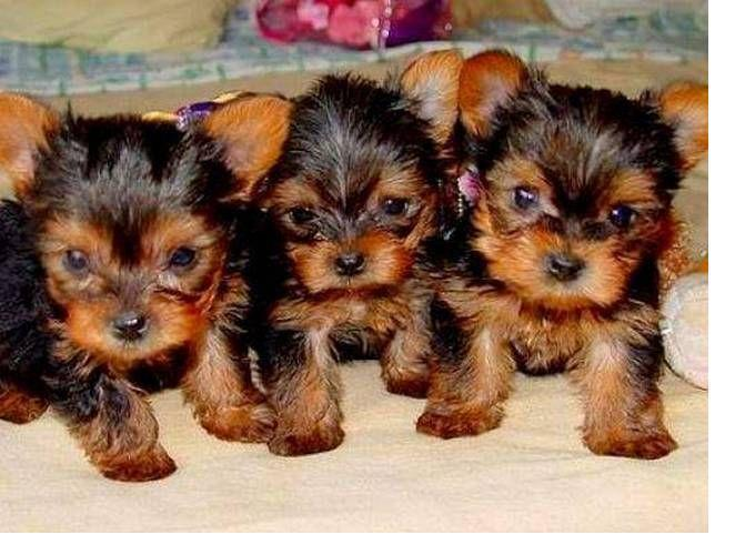 Teacup Yorkie For Sale In Connecticut Classifieds Buy And Sell In