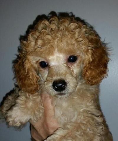 Adorable Akc Toy Apricot Poodle Puppies For Sale In Portland