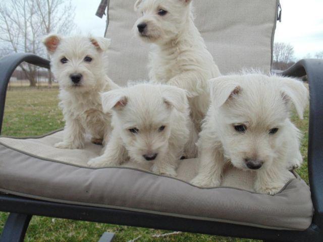 Adorable AKC Westie Puppies!