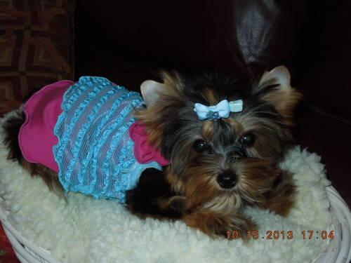 Adorable Akc Yorkshire Terrier 3 12 Month Old Puppy Female For