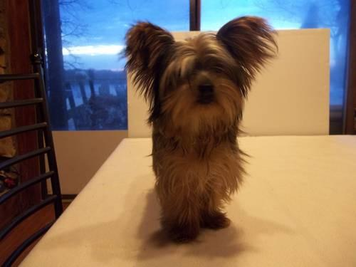 Adorable Akc Yorkshire Terrier Golden Female Lady Sharie For