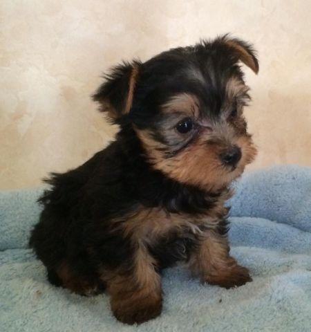 Adorable Teacup Yorkie Terrier Puppies For Sale In Atlanta