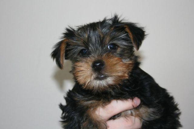 yorkie breeders washington state adorable akc yorkshire terrier puppies for adoption 9 6979