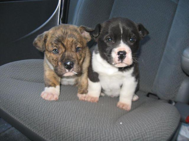 american bulldog lab mix puppy adorable american bulldog lab mix puppies brindles for 852