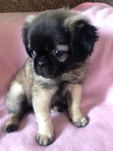 Adorable And Fluffy Pug Shih Tzu Mix Pud Zu For Sale In Corona