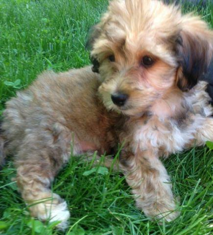 Adorable And Lovable Yorkie Bichon Mix Puppy 13 Weeks Old For Sale