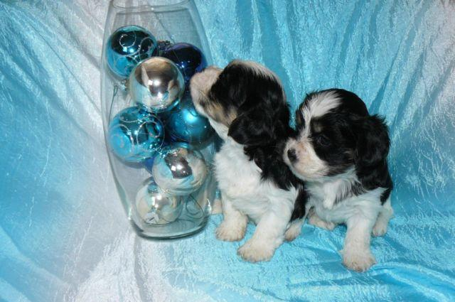 Adorable and Tiny CAVAPOO Puppies!