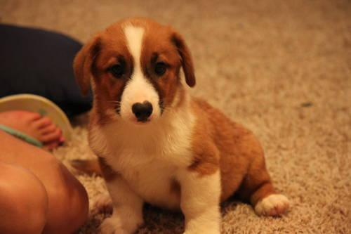 Adorable Augie Puppies (Corgi/Australian Shepherd Mix)