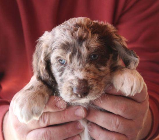 Adorable Aussie Doodle Puppies For Adoption 6 Weeks Old