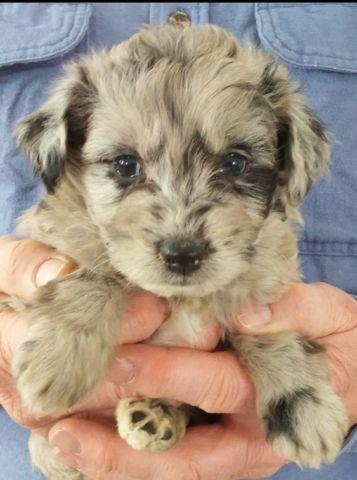 Adorable Aussiedoodle (Aussiepoo) puppies for sale! for Sale in Becks Mills, Ohio Classified ... Mini Australian Shepherd Mix