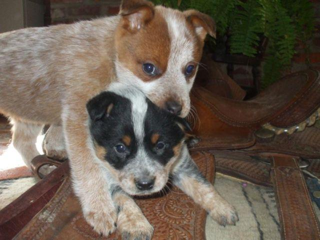 Red Cattle Dog Puppies For Sale Qld