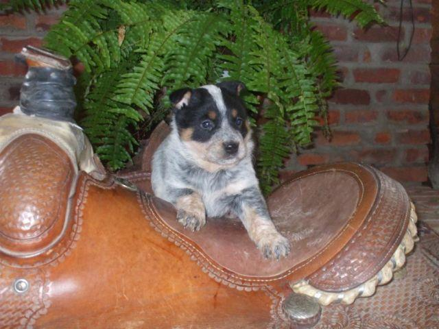 Dogs For Sale In Muncie Indiana
